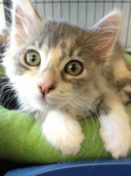 kittens for adoption at Talbot Humane